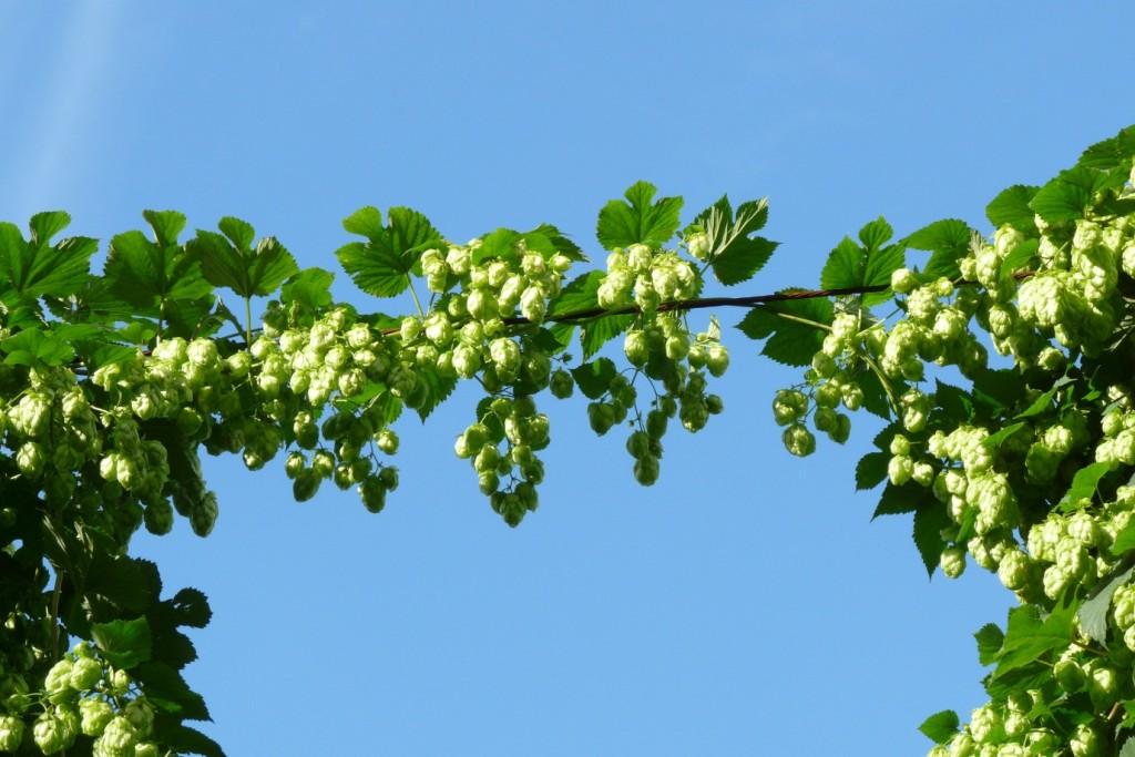 stlawrence-hop-cordon