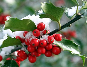 holly-image